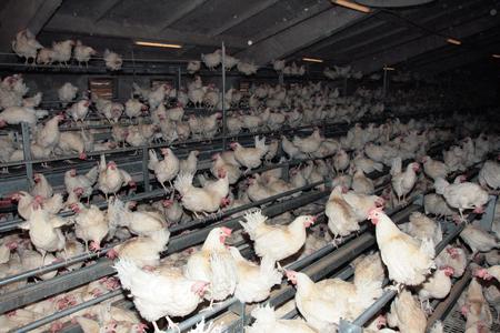 свободните кокошки, когато не са на открито. източник: ЕТ Ангелов