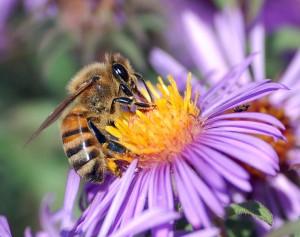 пчеличка